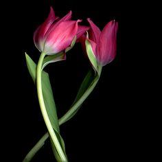 FRAULEIN PARDON… Tulips by Magda Indigo - Photo 151226803 - 500px