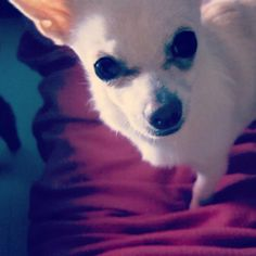 Molly, chihuahua. The Buttons. http://the-buttons.tumblr.com