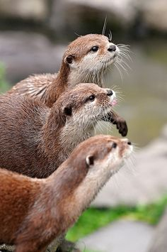 otters ... they are so   cute!
