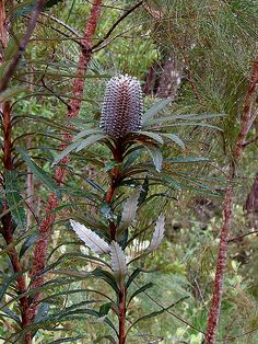 Blue Banksia | Banksia plagiocarpa   Flora of Hinchinbrook island:  among the many striking sights is the rare blue banksia with its blue-grey flowers, gnarled cones and spectacular rusty-red new foliage.