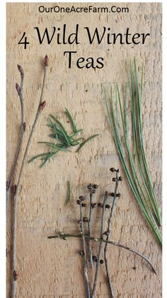 Make wild winter teas with birch twigs, white spruce needles, white pine…