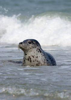 Ook zeehonden leven in Nederland. Deze luilak kwam boswachter Aaldrik tegen.