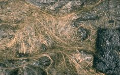 Hundreds of strands of Pele's hair intertwined on the surface of a pahoehoe flow at Kilauea Volcano, Hawai`i. The glass strands were erupted from Mauna Ulu, a shield that formed on the east rift of Kilauea between 1969 and 1974.  Credit: D.W. Peterson on 27 March 1984.