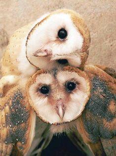 Effraie des clochers.TYTO ALBA.  Barn owl. L'effraie des clochers a une grosse tête arrondie avec un masque en forme de coeur. Le dessus est ponctué et moucheté. La forme claire a le dessous tout blanc.  On distingue aussi l'effraie sombre et l'effraie masquée. On la trouve partout sur terre dans les zones de plaine avec de la végétation. C'est un des oiseaux terrestres les plus répandus et c'est l'un des rares à localiser ses proies dans l'obscurité en se servant de son ouïe.