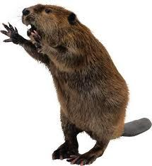 beaver shout out