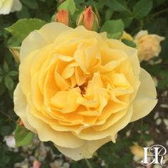 "Graham Thomas ®️️️ rose. Probably the most outstanding of all the English Roses. Breathtaking, double 4"" blooms (petals 30+) of a magnificent shade of yellow with a texture that makes the old rose style blooms look almost too perfect to be real, having a mild tea fragrance. A great bush, vigorous, slender, and upright. In the South it may be trained as an outstanding climber."