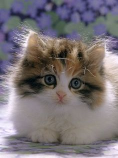 \A cat can be trusted to purr when she is pleased which is more than can be said for human beings.\ --William Inge