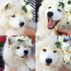 They're the princesses of the canine world, really. | 21 Pictures That Prove Samoyeds Are Perfect In Every Way
