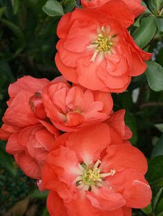 Flowering Quince 'Orange Storm' - Shrub is covered in camellia-like blooms in early spring. Zones 5-9