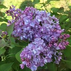 Proven Winners - Scentara® Double Blue - Lilac - Syringa hyacinthiflora purple purple-blue plant details, information and resources. Lilac Flowers, Hydrangea Flower, Cut Flowers, Blue Plants, Water Plants, Pruning Shrubs, Spring Hill Nursery, Syringa, Spring Bulbs