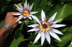 Water Lily,Nymphaea colorata,ดอกบัวโคโลราต้า