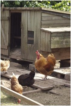 DIY Chicken Coop Building Guide - Have the freshest, organic eggs every day. Recycle table scraps into high quality, safe fertilizer for your garden or landscape.  Learn how to build your own chicken coop and you'll  learn skills and techniques that you can use on any building project. This best-selling, online guide comes with a 60 day money-back guarantee.