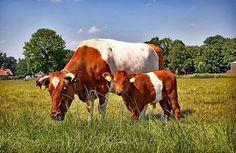 Lakenvelder cow and calf