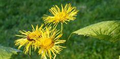 Warum der schon fast in Vergessenheit geratene Alant eine wichtige Heilpflanze ist, können Sie hier lesen!