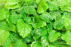 Picture of Fresh green Melissa Lemon balm background Used in culinary as a flavouring, is also used medicinally as an herbal tea, or in extract form Lemon balm is very popular in aromatherapy stock photo, images and stock photography. Lemon Balm, Edible Plants, Medicinal Herbs, Fresh Green, Herbal Tea, Lettuce, Smoothies, Herbalism, Spices