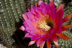 Cactusv Flower (Unsure of species)