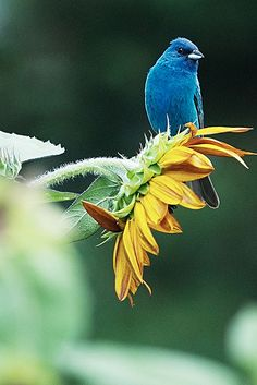 Indigo Bunting - these little beauties are so neat to see flitting above a field of wild flowers and sun bleached weeds!