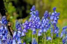 Summer Bluebells on Mount Juliet Estate   View our website at  http://www.mountjuliet.ie/