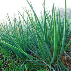 Ces herbes poussent dans l'eau à longueur d'année - Page 8