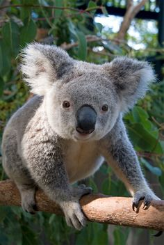 A koala that answered the three questions correctly!