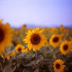 #sunflower par @mazunte75 #tournesol #semblancay #touraine #tours #toursfrance #tourainenature #valdeloire #vsd_igf #indreetloire #ilovetouraine #igcaptureclub #instagramers #ig_worldpics #igersfrance #igerstours #instamood #igmasters #ig_france #loirevalley #laloireavelo #loire #ete2014 #summer2014 #communityfirst #cartepostale #france #wonderfulplaces