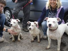 White staffordshire bull terriers - mum and her daughters x
