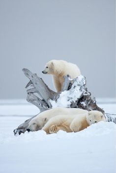 "Polar bear on top: ""Look Ma, I found a ruin of a ship!"" Mama Polar Bear (left): ""Oh, that's nice. Nature Animals, Animals And Pets, Cute Animals, Wild Animals, Baby Animals, Mundo Animal, My Animal, Bear Animal, Cute Animal Photos"