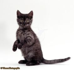 Black smoke british shorthair cat