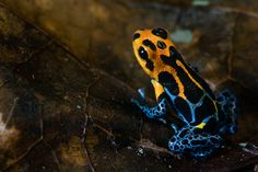 A poison dart frog from South America that mimics two different frogs may  be evolving into 79c49d38501d