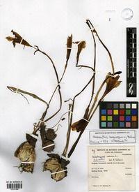 Habranthus caaguazuensis