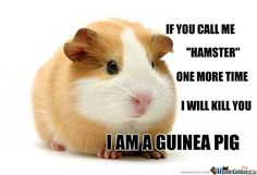 everyone calls my guinea pigs hamsters and it drives me nuts, no matter how many times i tell them IT'S A GUINEA PIG!
