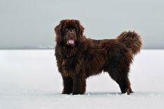newfoundland dog | Tumblr