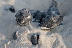 Latest News & Events from Kuredu Maldives Resort Kuredu Maldives, Maldives Resort, Sea Turtles Hatching, Baby Sea Turtles, Pictures Of Turtles, Turtle Love, Tortoises, Riviera Maya
