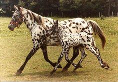 Leopard appaloosa and beautiful baby
