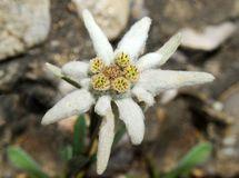 Edelweiss, Leontopodium Alpinum Royalty Free Stock Images