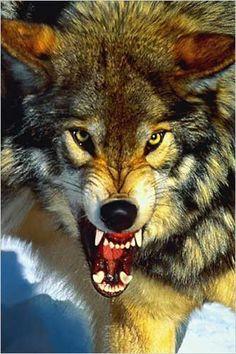 Gray Wolf Close UP 24x36 Inch Full Color Wildlife Poster by Eurographics This beautiful, full color, 24 x 36 inch poster captures a gray wolf in an extreme Close Up photograph. This fellow is snarling