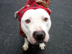 Manhattan Center  My name is WATERBOY. My Animal ID # is A0990689. I am a male white and black pit bull mix. The shelter thinks I am about 3 YEARS old.  I came in the shelter as a STRAY on 01/30/2014 from NY 10456, owner surrender reason stated was STRAY.  MOST RECENT MEDICAL INFORMATION AND WEIGHT 02/13/2014 Exam Type VACCINATE - Medical Rating is 3 C - MAJOR CONDITIONS , Behavior Rating is EXPNOCHILD, Weight 50.6 LBS.