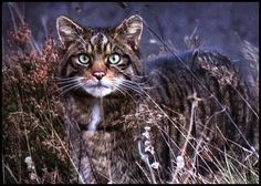 "Scottish Wildcat.  A truly untamable cat and not to be petted, despite appearances.  There are only about 400 left in the north of Scotland, where they're sometimes called the ""Tiger of the Highlands."""