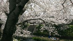 Hanami, see the flowers