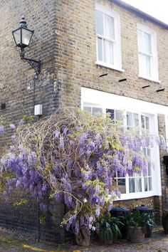 ensor mews: a guide to finding wisteria in London, England