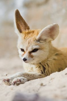 This is a very cool and funny animal! This animal lives in the desert and he is like a fox!