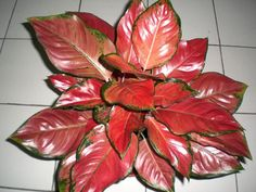 Aglaonema Red Sumatra Source by SherriEdwardsFL Exotic Plants, Tropical Plants, Garden Plants, Indoor Plants, Peace Lily Plant, Vertical Vegetable Gardens, Ikebana Arrangements, Green Carpet, Ornamental Plants