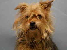 PULLED BY ANARCHY ANIMAL RESCUE - 01/12/16 - TO BE DESTROYED - 01/12/16 - **SENIOR ALERT** - TAWNY - #A1062501 - Super Urgent Manhattan - FEMALE TAN/BLACK SILKY TERRIER MIX, 10 Yrs - STRAY NO HOLD Intake 01/08/16 Due Out 01/11/16