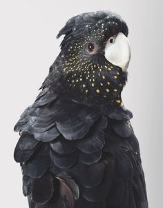 Possibly a female red-tailed black cockatoo??