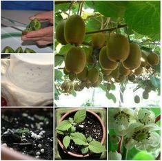 Come coltivare i kiwi partendo dalle sementi   Guida Giardino