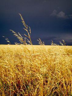 Dark storm clouds & fields of gold Beautiful World, Beautiful Places, Landscape Photography, Nature Photography, Travel Photography, Fields Of Gold, Wheat Fields, Felder, Storm Clouds