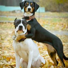 Entlebucher Mountain Dog information including pictures, training, behavior, and care of Entlebucher Mountain Dogs and dog breed mixes. Mountain Dog Breeds, Entlebucher Mountain Dog, Dog Breeds Pictures, Dog Information, Four Legged, Cute Puppies, Pitbulls, Animals, Doggies