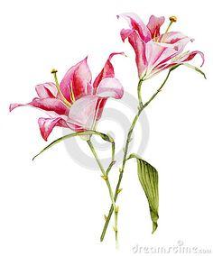 Aquarela botânica da flor de Lilia