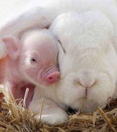 Foto : Porquinho e orelhas de coelho
