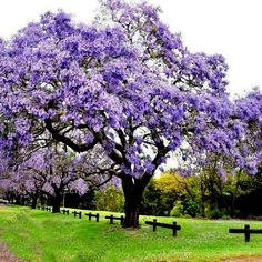 Royal Empress Tree Seeds (Paulownia tomentosa), Easy to grow, Flower Seeds Deciduous Trees, Trees And Shrubs, Flowering Trees, Trees To Plant, Bonsai Seeds, Tree Seeds, Tropical Landscaping, Backyard Landscaping, Vegetable Gardening